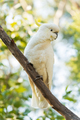 Sulphur-Crested Cockatoo Bird - PhotoDune Item for Sale