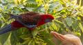 Crimson Rosella Wild - PhotoDune Item for Sale