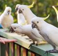 Flock Of Cockatoos - PhotoDune Item for Sale