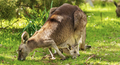 Kangaroo And Joey - PhotoDune Item for Sale