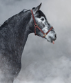 Portrait of gray Andalusian horse sticks his tongue. - PhotoDune Item for Sale