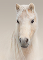 Portrait of palomino American Miniature Horse on pastel backgrou - PhotoDune Item for Sale