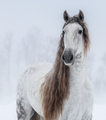 Grey Pure Spanish Horse with long mane. - PhotoDune Item for Sale