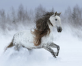 Grey long-mane Andalusian horse galloping during snowstorm. - PhotoDune Item for Sale