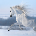 Beautiful white horse with long mane galloping across winter mea - PhotoDune Item for Sale