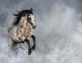 Portrait of Appaloosa horse in light smoke. - PhotoDune Item for Sale
