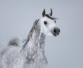 Arabian horse on light gray background. - PhotoDune Item for Sale