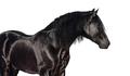 Portrait of black Pura Spanish horse. - PhotoDune Item for Sale