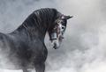 Portrait of gray Purebred Spanish horse in smoke. - PhotoDune Item for Sale