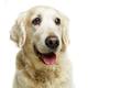 beautiful adult golden retriver dog on white background - PhotoDune Item for Sale