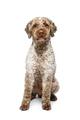beautiful lagotto romagnolo dog on white background - PhotoDune Item for Sale