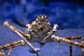 Japanese Spider Crab - PhotoDune Item for Sale