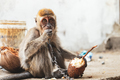 KUCHING / SARAWAK  / MALAYSIA / JUNE 2014: Small monkey chained - PhotoDune Item for Sale