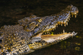 BORNEO / SARAWAK / MALAYSIA / JUNE 2014: Crocodile in the Semeng - PhotoDune Item for Sale