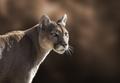 Mountain Lion Closeup Portrait - PhotoDune Item for Sale