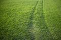 New-born green wheat - PhotoDune Item for Sale