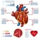 Realistic Heart Infographic Banner Anatomy Info - GraphicRiver Item for Sale