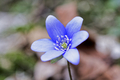 Blue spring wild flower (Hepatica nobilis) in the forest - PhotoDune Item for Sale