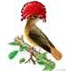 Amazonian Royal Flycatcher Onychorhynchus Coronatus - GraphicRiver Item for Sale