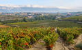 ountryside town of elciego and autumn vineyards in la rioja, Spain - PhotoDune Item for Sale