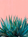 Plants on pink concept. Canary plant on pink wall - PhotoDune Item for Sale