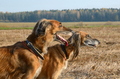 Portrait of wolfhound dogs - PhotoDune Item for Sale