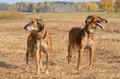 Autumn hunting dogs - PhotoDune Item for Sale