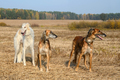 Hunting with wolfhounds - PhotoDune Item for Sale
