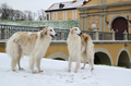 Two borzoi dogs in winter park - PhotoDune Item for Sale