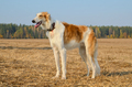 Hunting dog - PhotoDune Item for Sale
