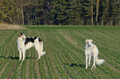 Two hunting russian wolfhounds - PhotoDune Item for Sale