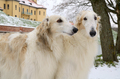 Portrate of two borzoi dogs - PhotoDune Item for Sale