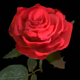 Realistic 3D Rose Flower with Blooming Rig - 3DOcean Item for Sale