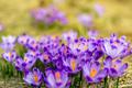Crocus closeup over green grass, flowers landscape - PhotoDune Item for Sale