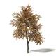 Mountain Ash 3D Model 5.2m - 3DOcean Item for Sale