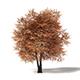Sugar Maple 3D Model 8.8m - 3DOcean Item for Sale