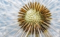 Dandelion Flower Head  - PhotoDune Item for Sale