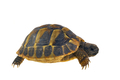 Hermann's tortoise (Testudo hermanni) isolated on white background - PhotoDune Item for Sale