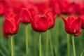 Spring fields of blooming tulip. Beauty outdoor scene - PhotoDune Item for Sale