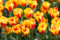 Background of colorful fresh tulips at Keukenhof garden, the Net - PhotoDune Item for Sale