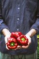 Fresh Organic Red Peppers - PhotoDune Item for Sale