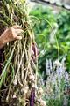 Farmer With Fresh Garlic - PhotoDune Item for Sale