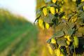 Green hops growing in a field - PhotoDune Item for Sale