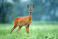 Wild female roe deer standing in a field and looking at the camera - PhotoDune Item for Sale