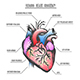 Human Heart Anatomy Vector Illustration - GraphicRiver Item for Sale