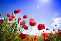 Field of red poppies - PhotoDune Item for Sale