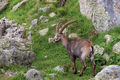 Ibex, Range of Mont Blanc, France - PhotoDune Item for Sale