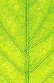 Grean leaf macro background or texture - PhotoDune Item for Sale