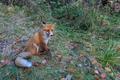 european red fox (vulpes vulpes) - PhotoDune Item for Sale