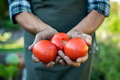 Farmer hands holding tomatoes - PhotoDune Item for Sale